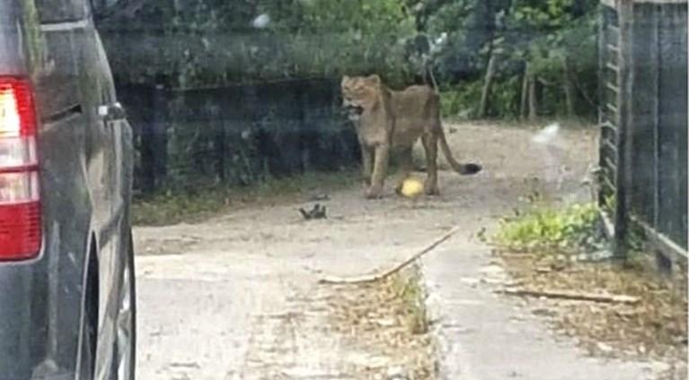 Ontsnapte leeuwin in Planckendael doodgeschoten: minister Weyts vraagt onderzoek