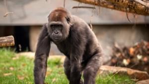Primeur voor Antwerpse zoo: (bedreigde) vrouwtjesgorilla Mayani is zwanger