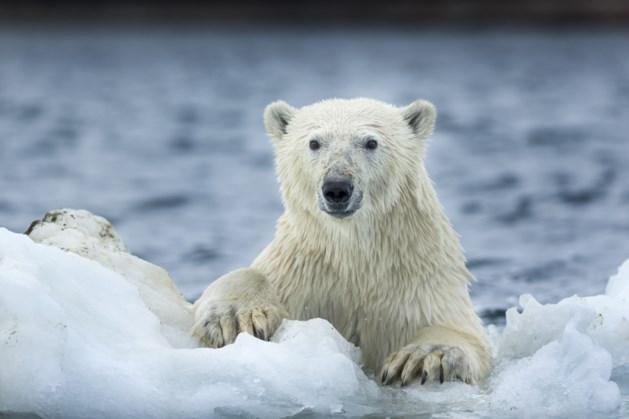 Man gedood door ijsbeer terwijl hij kinderen probeert te beschermen