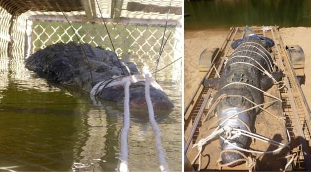 Enorme krokodil gevangen na acht jaar jacht