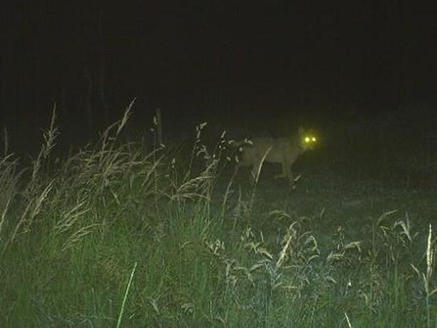Na vele valse meldingen: eindelijk wolf gesignaleerd in Wallonië