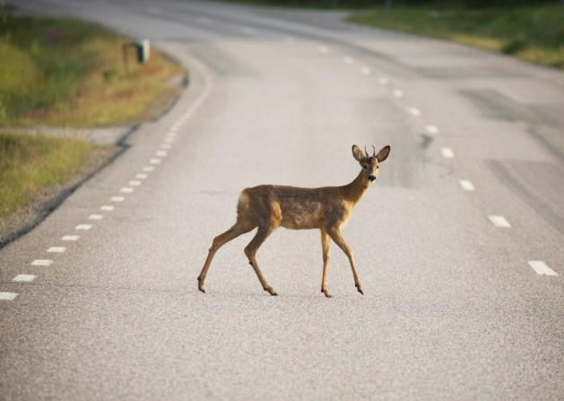 Waarschuwing: meer reeën op de weg door bronstperiode