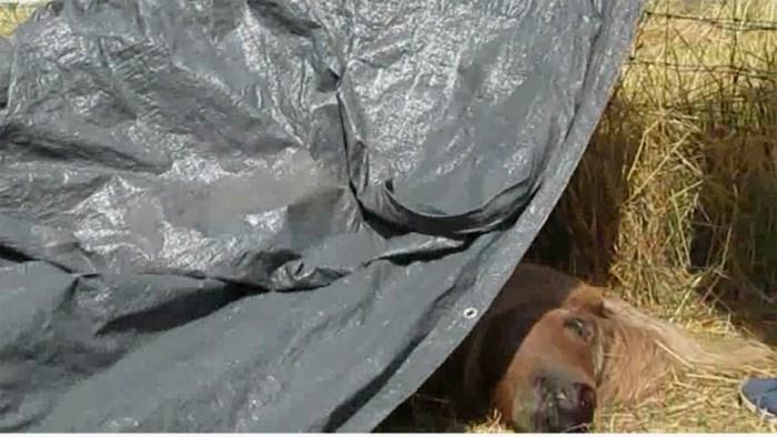 Twee pony's gestorven na vermoedelijke vergiftiging in Eigenbilzen