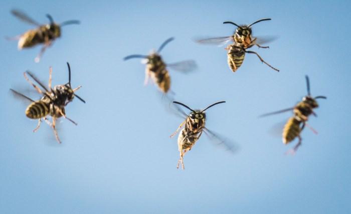 Maakt een dode wesp de rest van het nest echt agressiever?