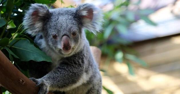 Droef nieuws uit Pairi Daiza: opnieuw koala overleden