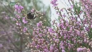 VIDEO. Ondanks extreme hitte staat heide toch mooi in de bloei