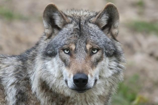 In Wallonië is de wolf al twee jaar terug