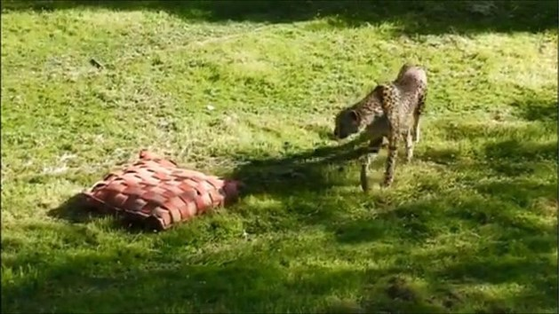 VIDEO. Oudste cheeta's van Europa overleden in GaiaZoo