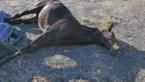 Paardenbeul doodt merrie in Gingelom