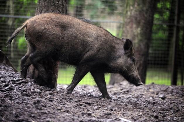 Afrikaanse varkenspest vastgesteld bij everzwijnen in België