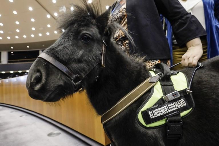VIDEO. Tongers blindengeleidepaardje krijgt rondleiding in Europees Parlement