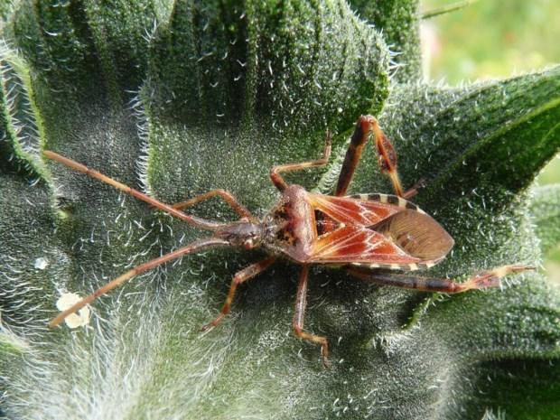 Hebt u dit insect al zien rondkruipen in huis?