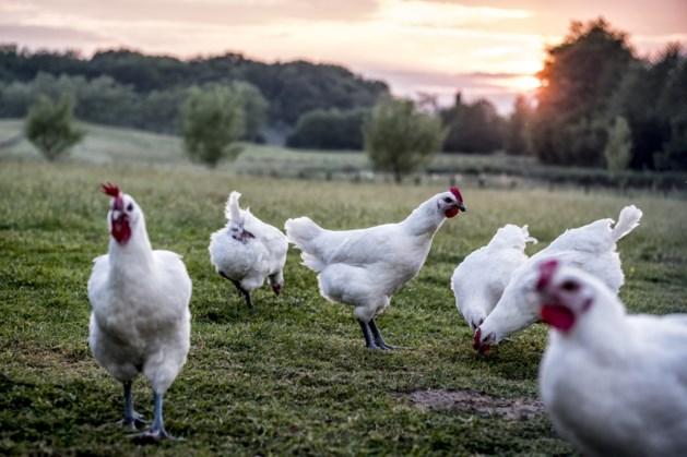 """Diervriendelijke legboerderij Kipster komt mogelijk naar Limburg: """"Gebouwd vanuit de wensen en verlangens van de kippen zelf"""""""
