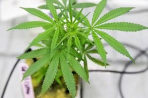 Straf met uitstel voor koppel dat met cannabisplantage begon in huis van zieke moeder