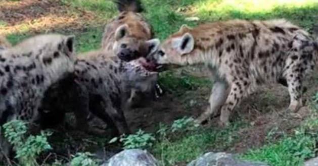 Groep hyena's valt soortgenoot aan in Beekse Bergen