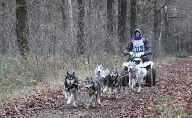 Sledehonden racen door Duinengordel