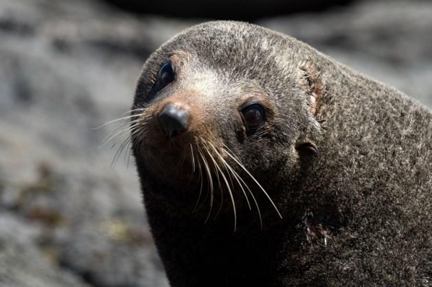 Mens niet verantwoordelijk voor onthoofde zeehonden in Nieuw-Zeeland