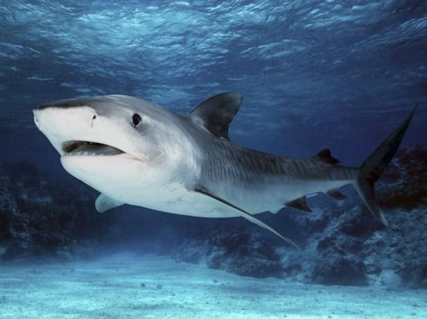Haai valt meisje en vrouw aan nabij Great Barrier Reef in Australië