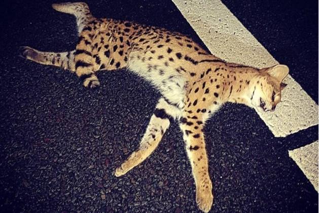 OPMERKELIJK: 'Peperdure' kat aangereden op snelweg