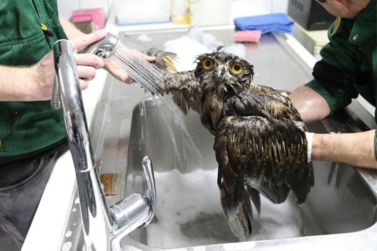 IN BEELD. Oehoe krijgt levensreddend badje in Natuurhulpcentrum