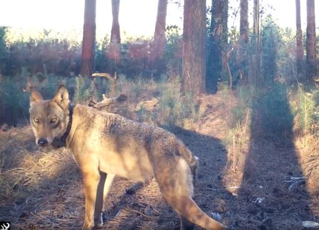 Schaderegeling voor de wolf opnieuw van kracht