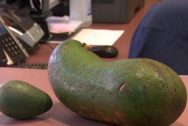 Is deze avocado met zijn 3 kilogram de grootste ter wereld?