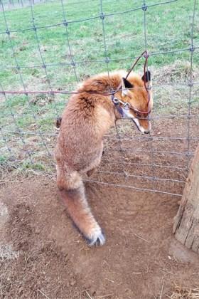 """Baasjes van vos die verstrengeld zat in omheining: """"Weggelopen en zelf verstrikt geraakt"""""""