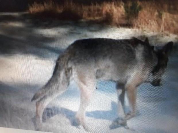 """Opnieuw drie schapen doodgebeten en alles wijst in de richting van een wolf: """"Bescherm je dieren"""""""
