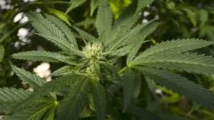 Politie rolt cannabisplantage bij Rotemse carnavalsprins op, ook plantage bij zijn vader gevonden