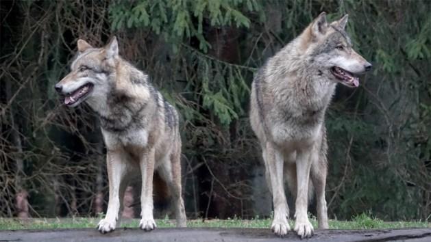 Jagen op wolven wordt eenvoudiger in Duitsland