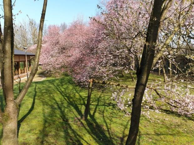 Kersenbloesems zijn open dus opent Japanse Tuin zondag al