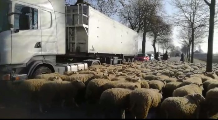 Herder trekt met 300 schapen over gewestweg in Helchteren