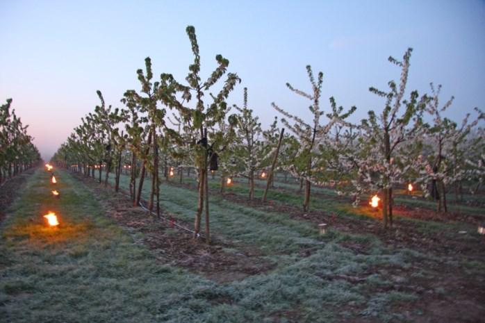 Haspengouwse fruitboeren alert voor nachtvorst