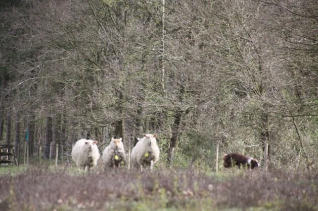 Alles over schapen en wolven