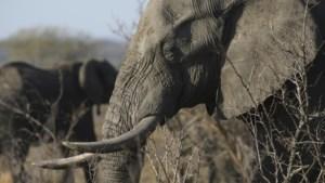 Stroper komt om het leven in Kruger Nationaal Park: vertrappeld door olifant en opgegeten door leeuwen