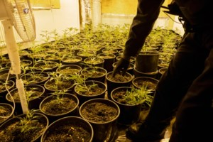 Politie laat cannabisplantage ongemoeid door misverstand