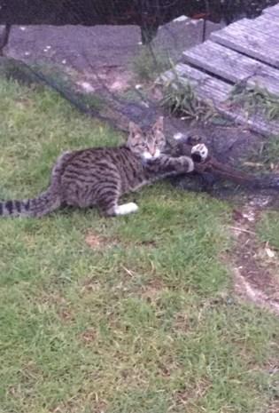 Kat verliest voorpoot door vossenklem