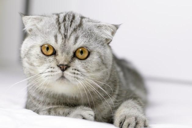 """Brussels gewest gaat hybride katten en """"Fold""""-katten verbieden"""