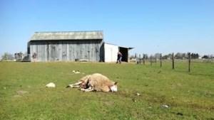 Opnieuw vier schapen doodgebeten in Wauberg