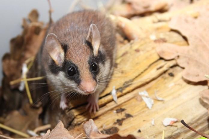 Zeldzame eikelmuis duikt op  in Kuringse speelgoedwinkel