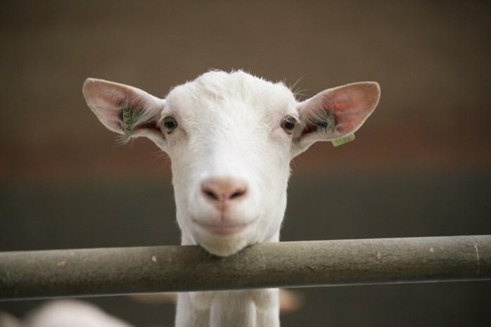 Genkenaars slachten geiten in openlucht