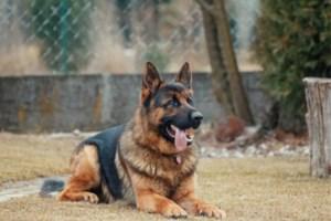 Straf met uitstel voor Zonhovenaar die herdershonden loslaat op politie