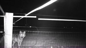 Wolf August vangt bot tijdens schapenjacht in Wauberg