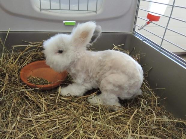 Verwaarloosd konijntje helemaal kaalgeschoren