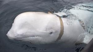 Is Russische 'spionwalvis' uit Noorwegen een therapiedier?