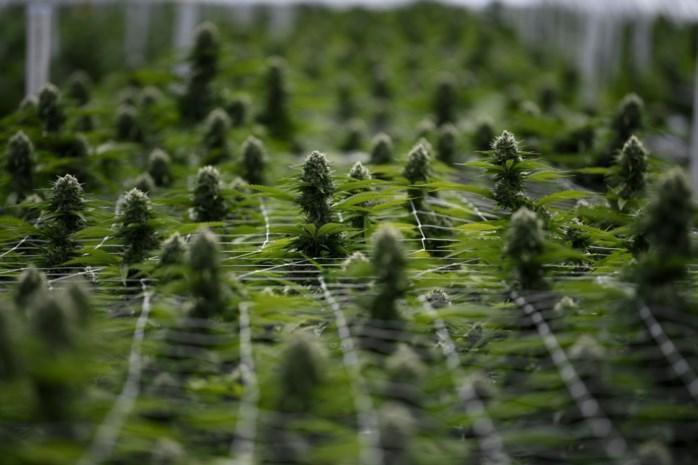 Koppel sproeit Zutendaalse cannabisplantage met zwembadwater