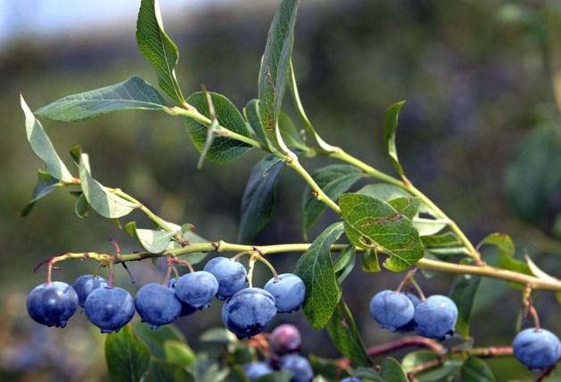 Eerste blauwe bessen van seizoen komen uit Kinrooi