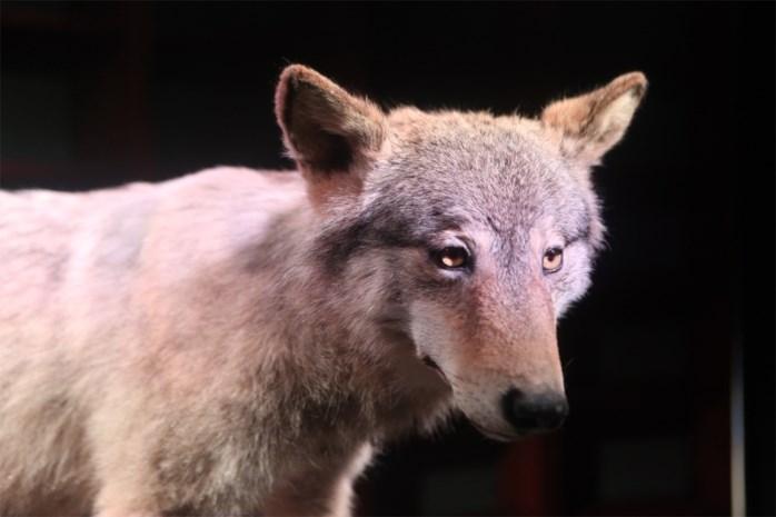 Opgezette wolf Roger trekt met reizende expo door Noord-Limburg