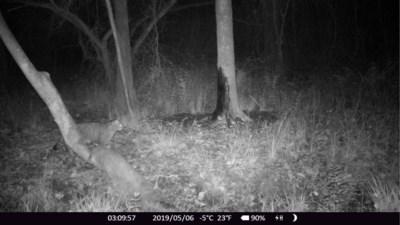 Zeldzaam: wilde kat passeert wildcamera in Stramproyerbroek