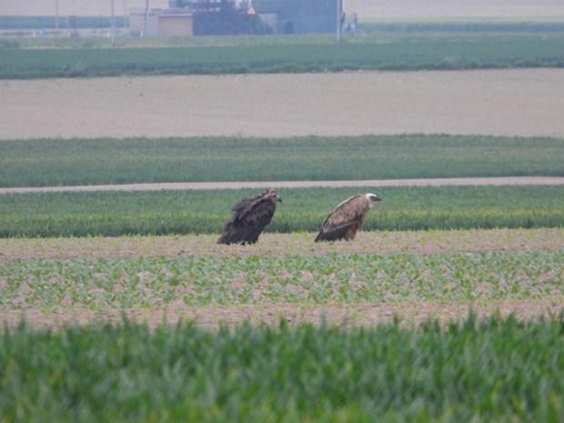 Primeur in Limburg: twee zeldzame gieren gespot in Hees